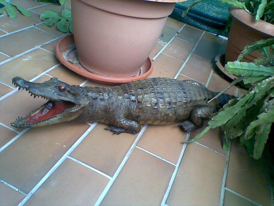 preparirani krokodil aligator 113cm odličan!!!!