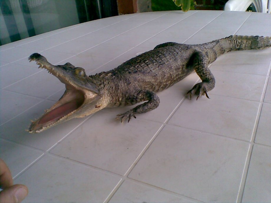 preparirani krokodil aligator 80cm odličan !!!