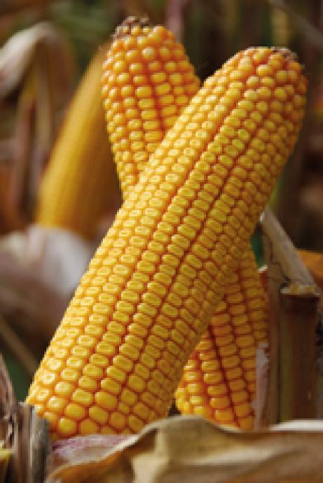 Kukuruz u klipu i zrnu rod 2020
