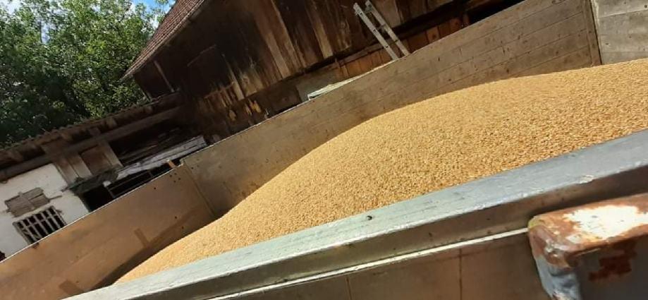 Pšenica brkulja Ogulin