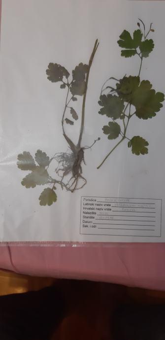 Biljke za herbarij s korijenom-PRODAJEM