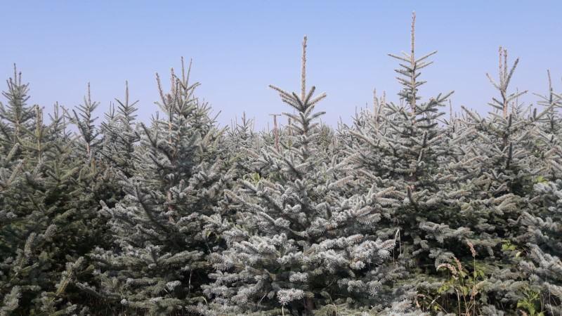 Božićna drvca, Borovi, Smreka srebrena i obična