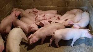 Prasci domaći za klanje ili dohranu, 15 kn/kg žive vage
