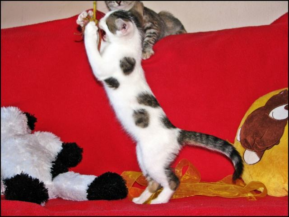 bijela maca velika guza