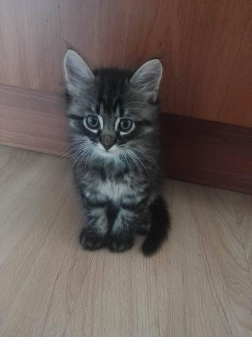 velika maca lipa