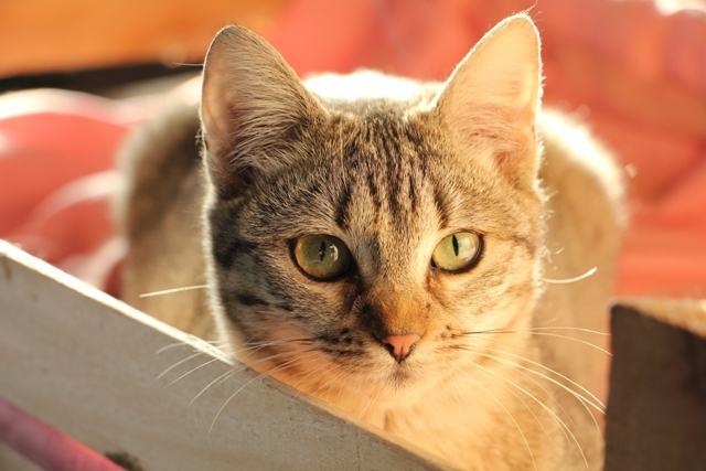 Velika sestra maca