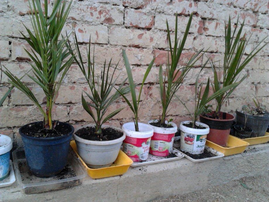Datulina palma