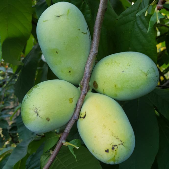 Indijanska banan PAW PAW 70 kn/kom